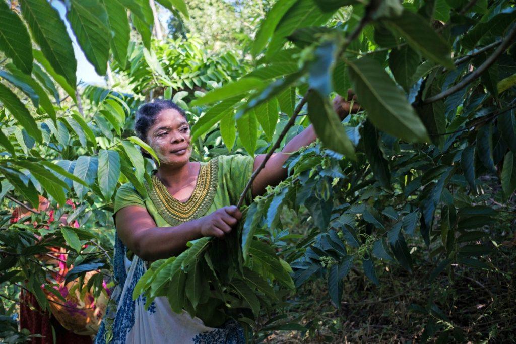 Niyati Issoufa et ses collègues récoltent l'ylang ylang aux premières heures du matin, lorsque son parfum est le plus intense.